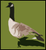 Feral Geese Counts
